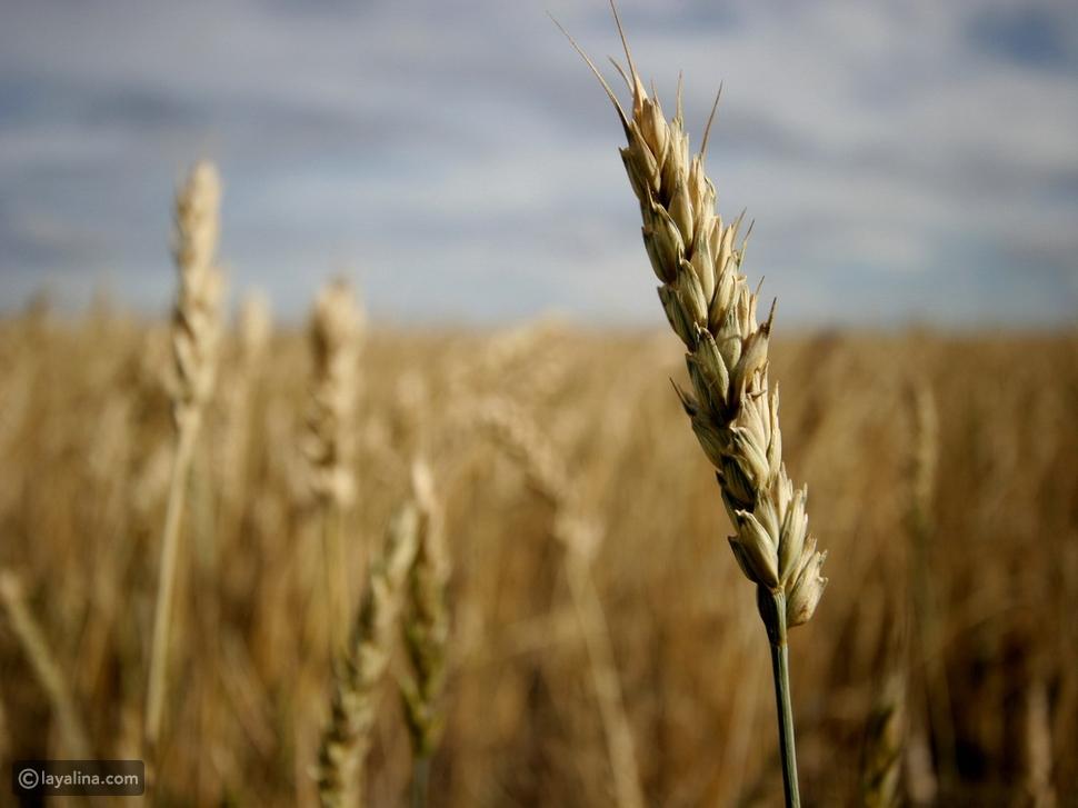 تفسير حلم القمح