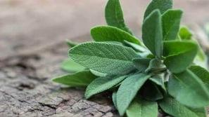 تعرف على فوائد نبتة الميرميّة