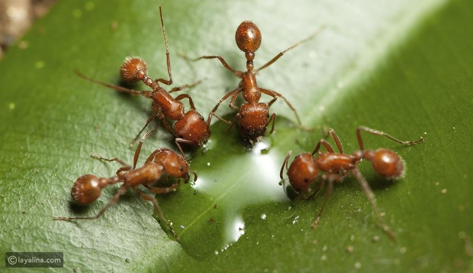 تفسير رؤية النمل في المنام للعزباء والمتزوجة